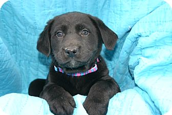 Labrador Retriever Mix Puppy for Sale in Glastonbury, Connecticut - Avon- meet me
