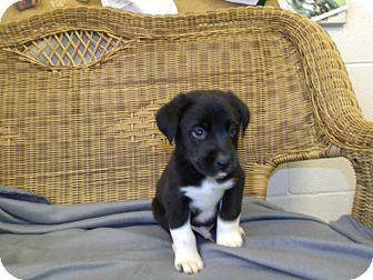 Border Collie Puppy for Sale in Gadsden, Alabama - Stymie