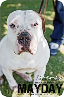 American Pit Bull Terrier Mix Dog for Sale in Phoenix, Arizona - Sherman