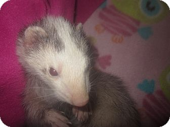Ferret for adoption in Toledo, Ohio - Emma