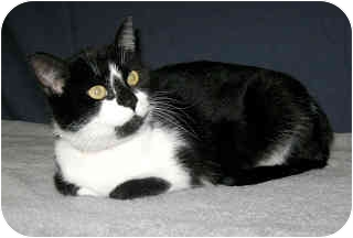Domestic Shorthair Cat for adoption in Powell, Ohio - Allisandra