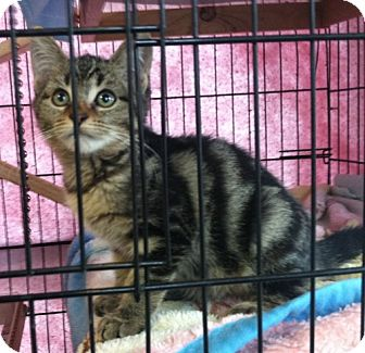 Domestic Shorthair Kitten for Sale in Red Bluff, California - Bella