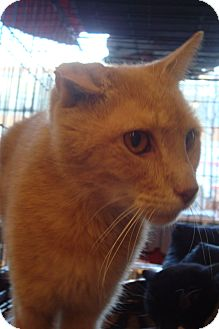 Domestic Shorthair Cat for adoption in Brooklyn, New York - Peachy Boy