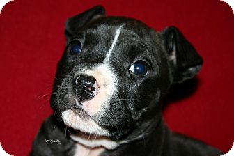 American Pit Bull Terrier Mix Puppy for Sale in Glastonbury, Connecticut - Wendy~meet me!