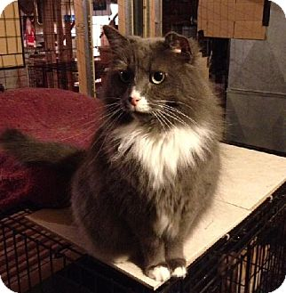 Domestic Mediumhair Cat for adoption in Greensboro, North Carolina - Bailey
