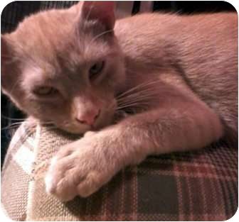 Domestic Shorthair Cat for adoption in Jacksonville, Florida - Preston