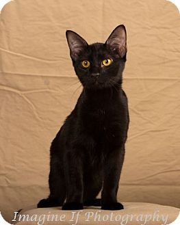 Domestic Shorthair Kitten for Sale in Edmond, Oklahoma - Twilight