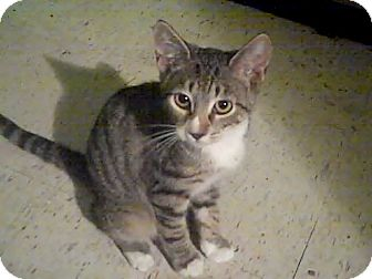 American Shorthair Kitten for Sale in Bradenton, Florida - Evie