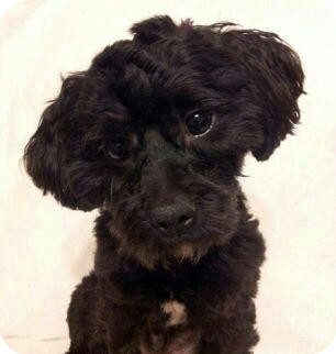 Poodle (Miniature) Mix Dog for Sale in Bridgeton, Missouri - Parker