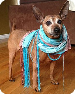 Miniature Pinscher Mix Dog for adption in Emsdale (Huntsville), Ontario - Harley - Adoption Pending!