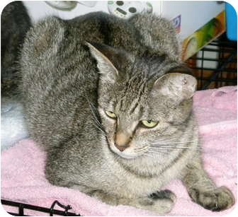 Domestic Shorthair Cat for adoption in Troy, Michigan - Zoe