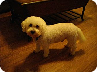 Bichon Frise Mix Dog for Sale in Sheridan, Oregon - Adam