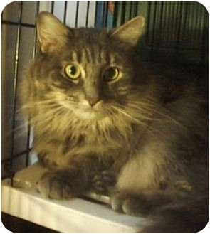 Domestic Mediumhair Cat for adoption in New York, New York - Lilac