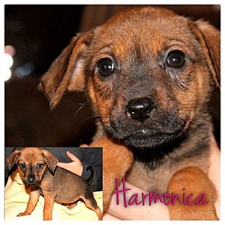 Dachshund/Beagle Mix Puppy for Sale in Westland, Michigan - Harmonica
