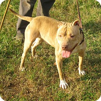 Pit Bull Terrier Mix Dog for adption in North Middletown, New Jersey - Jake- Crosspost