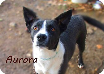 Border Collie Mix Puppy for Sale in Hamilton, Montana - Aurora