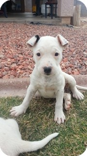 American Pit Bull Terrier/Boxer Mix Puppy for Sale in Phoenix, Arizona - Spots - Only $95 adoption!
