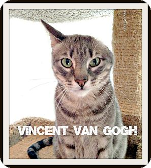 Domestic Shorthair Cat for adoption in Houston, Texas - Vincent Van Gogh - 1 EAR