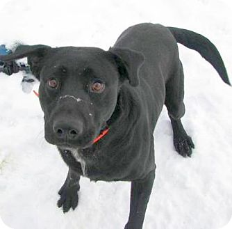 Labrador Retriever/Boxer Mix Dog for adption in Lisbon, Ohio - Baloo