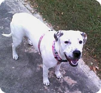 American Bulldog/American Staffordshire Terrier Mix Dog for adption in Porter, Texas - Stormie