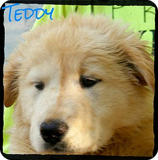 Australian Shepherd/Labrador Retriever Mix Puppy for Sale in shelton, Connecticut - Teddy