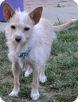 Norfolk Terrier Mix Dog for Sale in Simi Valley, California - Buddy