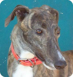 Greyhound Dog for Sale in Longwood, Florida - Mulberry Cupid