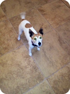 Jack Russell Terrier Dog for Sale in Scottsdale, Arizona - LUCY III