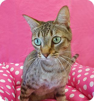 Bengal Cat for adoption in Youngtown, Arizona - Tawnya