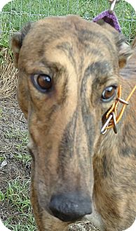Greyhound Dog for adption in Longwood, Florida - N Luke