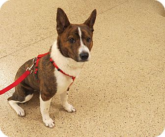 Australian Cattle Dog/Australian Cattle Dog Mix Puppy for Sale in Scottsdale, Arizona - Jewel