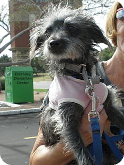 Cairn Terrier Mix Puppy for Sale in Phoenix, Arizona - Carly