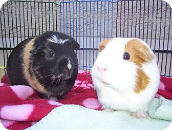 Guinea Pig for Sale in Costa Mesa, California - Haru and Minnie