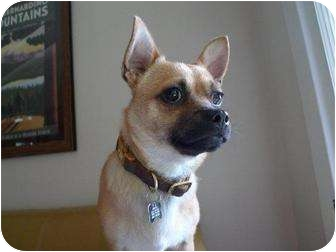 Chihuahua/Pug Mix Dog for Sale in Los Angeles, California - Bravo - NEEDS A FOSTER HOME!