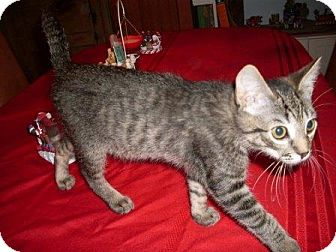 Domestic Shorthair Kitten for Sale in Kirkwood, Delaware - Bally