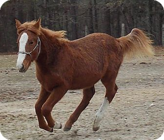 Tennessee Walking Horse Mix for adoption in York, South Carolina - Savannah