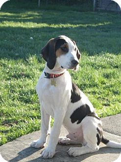 English (Redtick) Coonhound/Treeing Walker Coonhound Mix Puppy for Sale in Westland, Michigan - Heartthrob