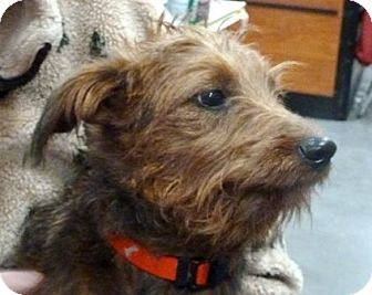 Irish Terrier Mix Puppy for Sale in Loudonville, New York - Abby
