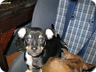 Chihuahua/Rat Terrier Mix Puppy for Sale in Pelham, New York - Tip