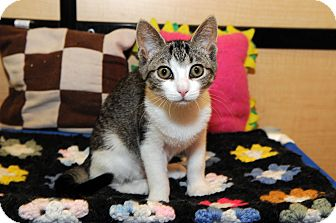 Domestic Shorthair Kitten for Sale in Farmingdale, New York - Emma