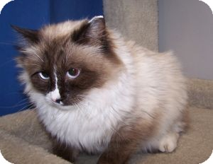Ragdoll Cat for Sale in Colorado Springs, Colorado - Countess