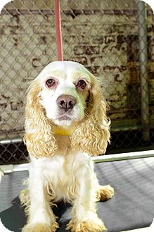 Cocker Spaniel Dog for Sale in New York, New York - Myra