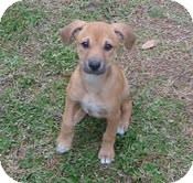 Shepherd (Unknown Type)/Boxer Mix Puppy for Sale in Allentown, Pennsylvania - Rosey Roo