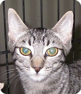 Domestic Shorthair Kitten for adoption in Winchester, California - Tomika