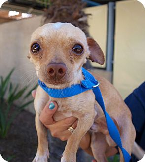 Chihuahua Mix Dog for Sale in Chula Vista, California - Gus