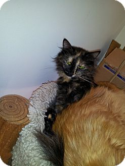 Maine Coon Cat for Sale in East Hanover, New Jersey - BK