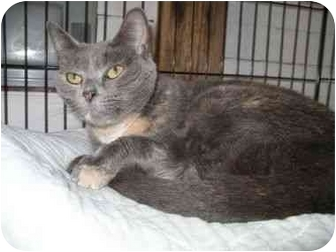 Domestic Shorthair Cat for adoption in Pittsboro, North Carolina - Blue Belle