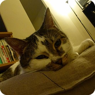 Domestic Shorthair Cat for adoption in Toronto, Ontario - Amber