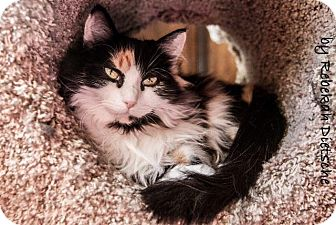 Calico Cat for adoption in Grand Rapids, Michigan - Persephone