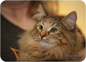 Domestic Shorthair Cat for Sale in St. Louis, Missouri - Ursula